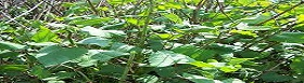Japanese Knotweed Problems